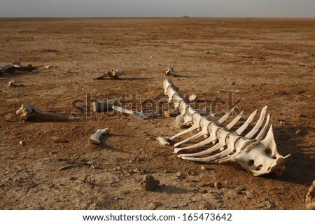 skeleton in desert with single bones around stock photo