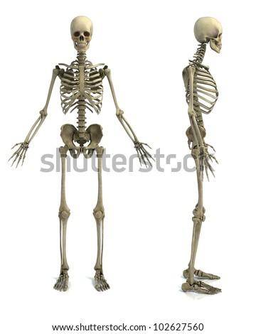skeleton isolated on white background