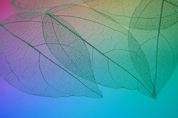 skeleton leaves. green skeletonized leaves on multicolored blurred gradient background.Skeletonized leaf texture. Beautiful nature plant background.