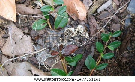 Skeleton of a dead rat that was killed by rat poison or a raticide rotting with bones and a rest of fur and coat in the garden waiting for vermin killers to be taken as trophy