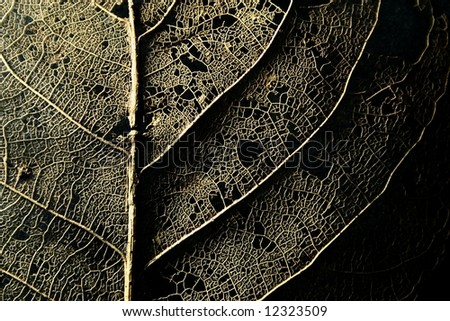 skeleton of a decomposing leaf