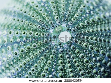 skeleton of a see urchin in shades of blue and green color