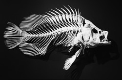 skeleton of ancient fish on a black background. fish bones