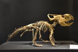 Skeleton of Dinosaur Protoceratops