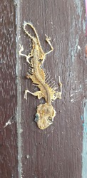 Skeleton of lizard pressed at the edge wooden door.It is reptiles, four legs,quickly,eat insect. The parts of body are complete. It dry because hot and still a long time.