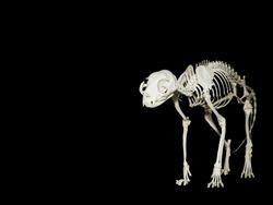 Skeleton of the domestic cat or Felis Catus
