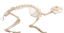 Skeleton of the domestic quadruped section with bones