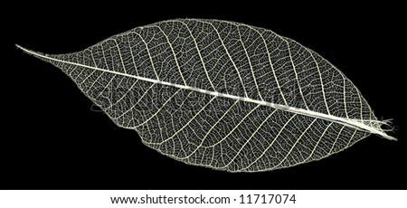 skeleton of the leaf