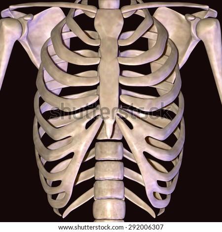Human skeleton back ribs