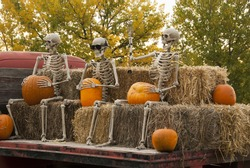 Skeletons sitting on top of bales of hay holding pumpkins on an autumn morning