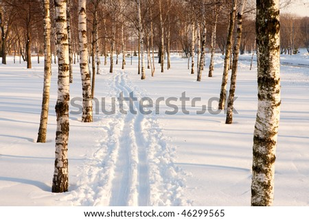 Ski track on snow about birch