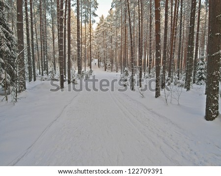 Ski tracks through the winter pine forest. Clear sunny day in good weather