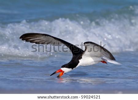 Skimmer Feeding on the Gulf Coast