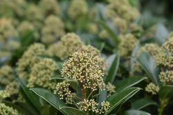 Skimmia Fragrant Cloud flower buds - Latin name - Skimmia japonica Fragrant Cloud