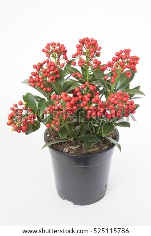 Skimmia japonica Pabella #525115786
