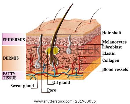 Royalty Free Hair And Human Skin Anatomy Illustration 583251655