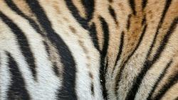 Skin of a Royal Bengal Tiger