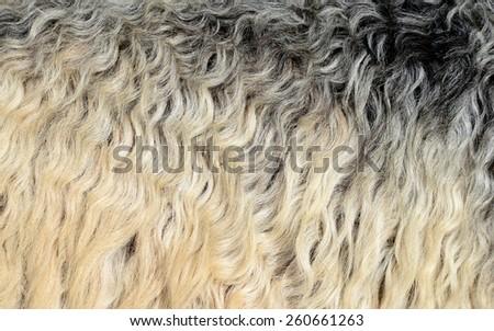 Skin of a sheep