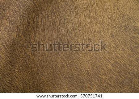 Skin of red bull, Banteng (Bos javanicus) #570751741