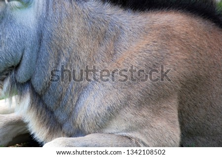 Skin of the wildebeest or wildebai, also called the gnu is an antelope of the genus Connochaetes. It is a hooved (ungulate) mammal. #1342108502