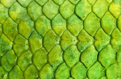 Skin reptile green crocodile skin texture snake background close-up.  Fish Scale Background Texture