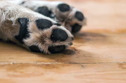 skin texture. Resting dog's paw close up. paws of a big dog on the wooden floor. dog feet and legs