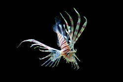 Skinny lion fish swimming, isolated with the color black.