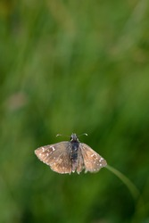 Skipper butterfly in nature on a plant, tiny brown butterfly in natural environment. Small brown moth.