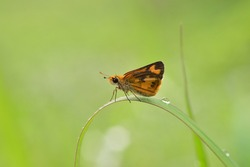 skipper butterfly on grass in spring summer morning light on nature, macro with beauty bokeh.