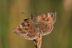 Skipper butterfly resting on grass. Macro