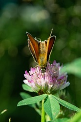 Skipper butterfly with its back turned to the lens drinks nectar with a clover proboscis in defocus macro view with blur
