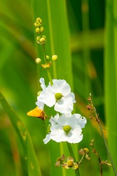 Skipper fly resting on a tongue arrowhead flower