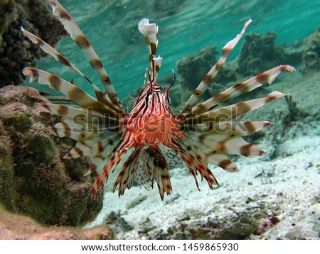 Skorpenovye, Lionfish warrior, Lion fish, Zebra fish, #1459865930