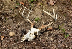 Skull and antlers of an eight point whitetail deer in the forest.