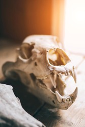 skull animal, wolf with sharp teeth, open mouth, close-up