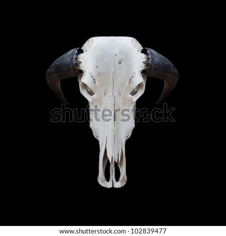 skull buffalo with cliping path