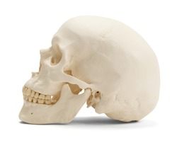 Skull facing side ways isolated on a white background.