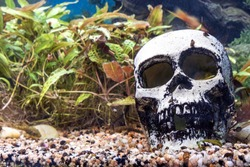 Skull in an aquarium with algae and snails, copy space