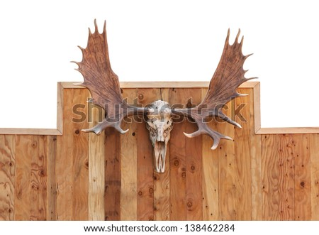 Skull Moose front view  hung on wooden wall