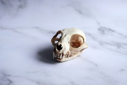 Skull of a cat on a white marble background. Zoology, the skeleton of a dead animal