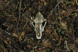Skull of a cow in the ground