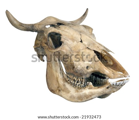 Skull of a cow on a white background