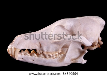 Skull of a coyote (canis Latrans) on a black background