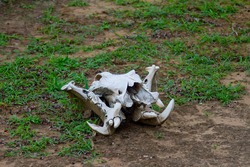Skull of a dead hippopotamus killed by lions at the Selous Game Reserve, Tanzania (Africa)