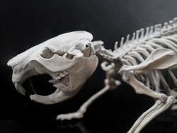 Skull of a Eurasian beaver, Castor fiber, with a black background