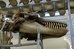 skull of a giant man-eating killer whale, a predatory whale, a sea monster