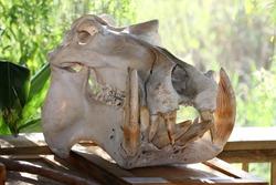 Skull of a hippopotamus showing enormous sharp teeth