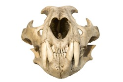 skull of a leopard on a white background