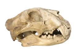 skull of a leopard on a white background, side view