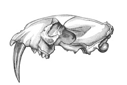 Skull of a Machairodus Sabre-toothed tiger. Old engraving by unknown artist from The Leisure Hour magazine printed in 1880.
